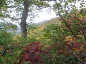 紅葉の始まったブナ林