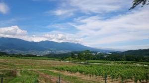 ぶどう畑2