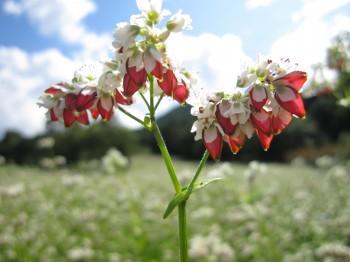 タチアカネ花実と空1