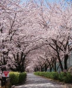 4016-01与田切公園の桜
