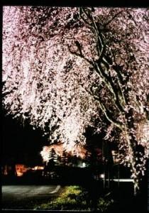 1036-01光前寺のしだれ桜
