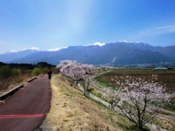 中アと桜並木