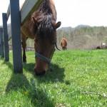 のどかに草を食む木曽馬