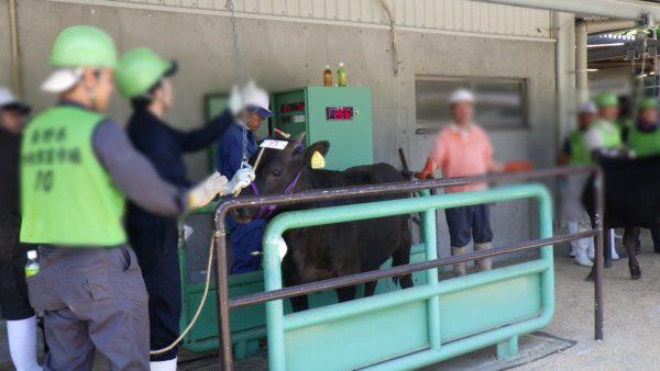 体重を測る子牛
