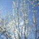 今年もきれいに咲きました!~魯桃桜(ロトウザクラ)~