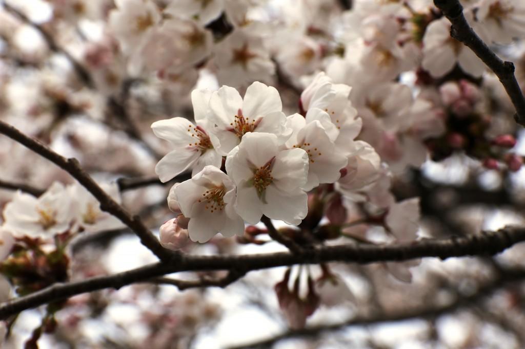 Yつぼみ花