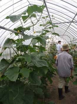 きゅうり栽培ハウスの様子
