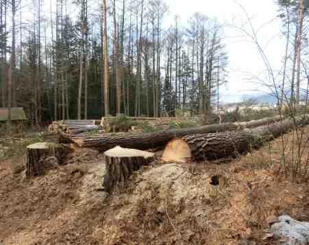 伐採を終えたアカマツ
