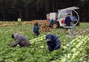 早朝より野辺山高原の広大なレタス畑で収穫を手伝う野菜コース小林史典くん