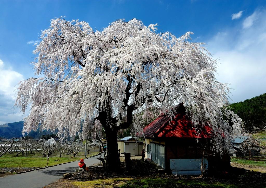 中塩のしだれ桜