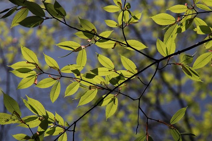 14.01新緑の葉