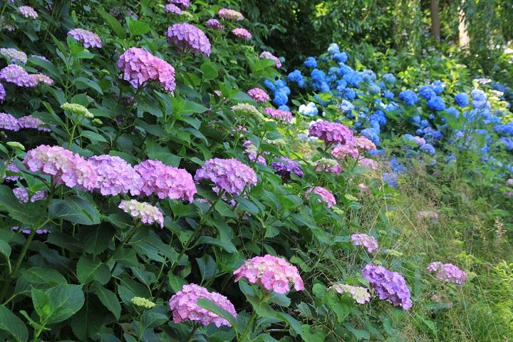 10.35紫と青のアジサイ