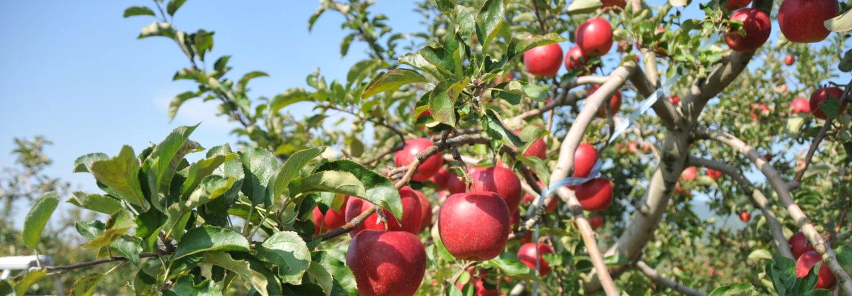 ほっとスタッフブログながの 長野地域の魅力、わたしたちの仕事について、ホットな話題を提供していきます! (写真:飯綱町 りんご畑) ★★ただ今、長野地域のおいしい果物情報を発信中!!★★ #ながの果物語り