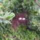 中央アルプス駒ヶ岳で約50年ぶりにライチョウが確認されました!