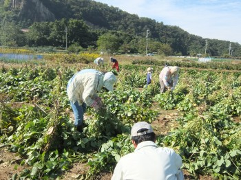 22_keikoさん_大豆の収穫!!