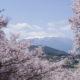 天下第一の桜「高遠城址」