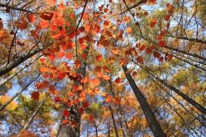 カエデとカラマツの紅葉