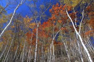 9.49シラカバ林の紅葉