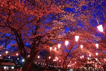 馬場の宵桜