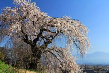 桜全景南から
