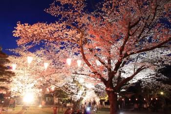 馬場の宵桜(逆光)