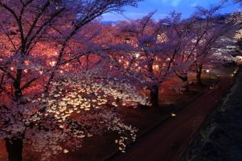 馬場の宵桜(天守台から)