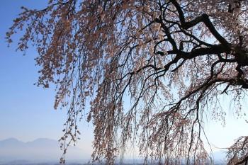 枝垂れと浅間山