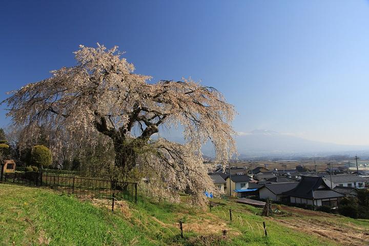 関所破りの桜全景
