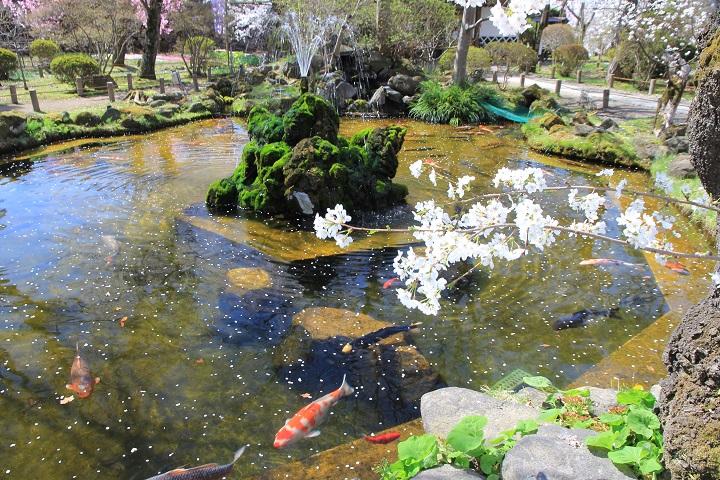 9.41池鯉桜