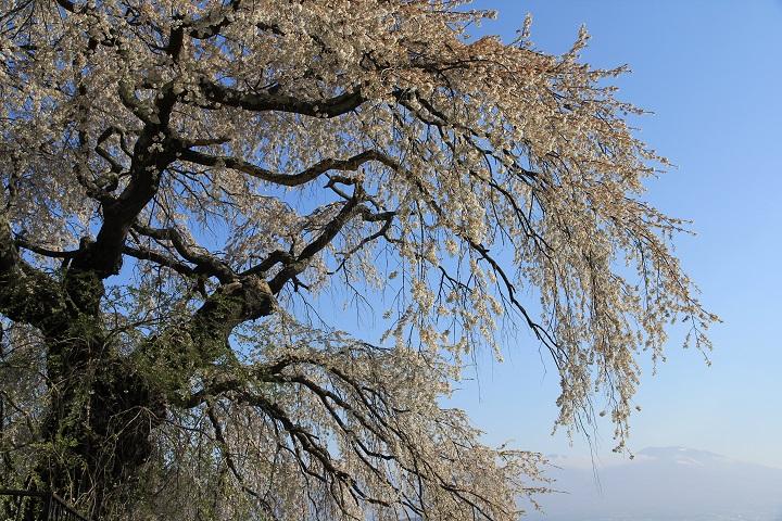 関所破りの桜(浅間山)