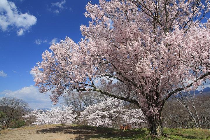 9.23天守閣跡の桜