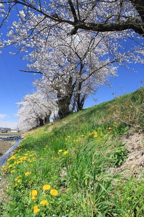 千曲川堤防の桜とタンポポ