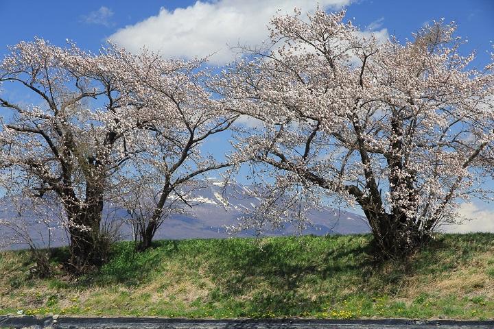 千曲川堤防の桜2と浅間山