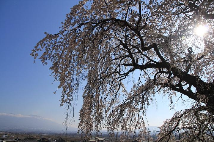 関所破りの桜(逆光)