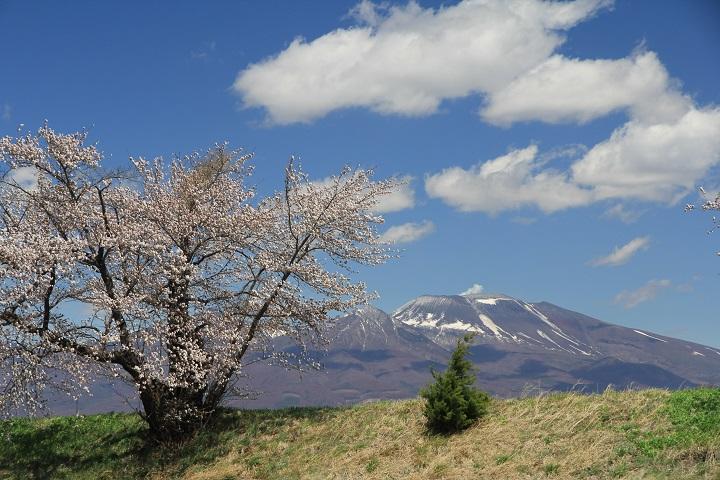 千曲川堤防の桜と浅間山