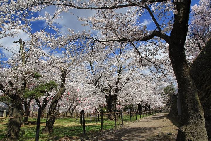 9.29馬場の桜