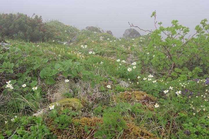 0713 16.26ハクサンイチゲのお花畑