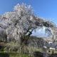 サクラ咲く佐久2019(関所破りの桜、茨城牧場長野支場、さくラさく小径)