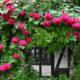 軽井沢町「軽井沢レイクガーデン」で、雨も滴るバラを見る!(2020年6月)
