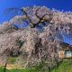 関所破りの桜が見ごろとなっています!!