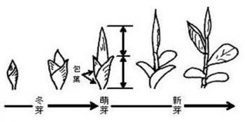 茶生育ステージ