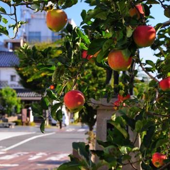 りんご並木3