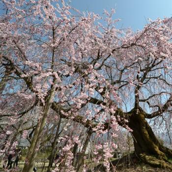 麻績の舞台桜 (3)