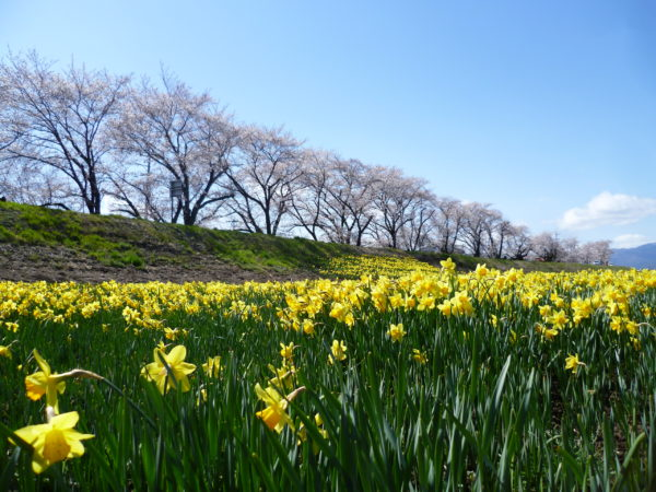 上川桜と水仙2