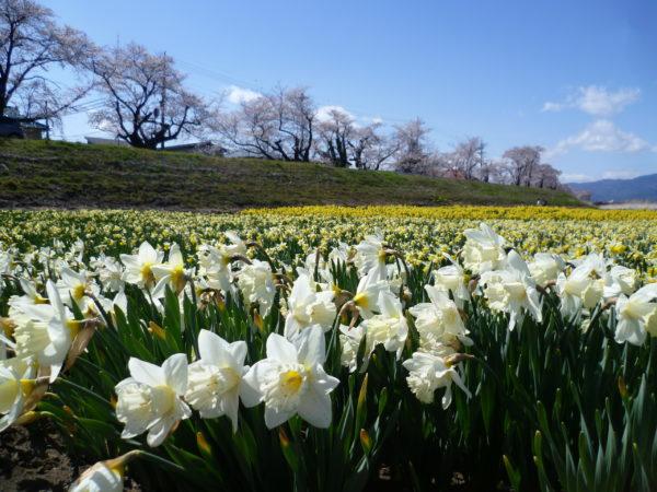 上川桜と水仙